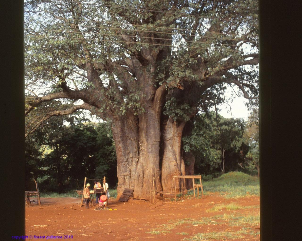Un baobab, en bordure de route