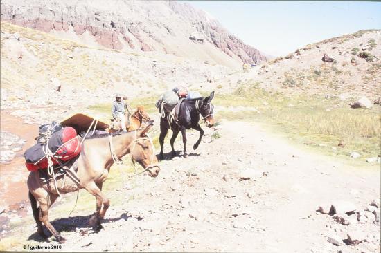 Les mules arrivent au premier camp de l' Aconcagua